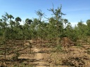 Tanakha trees