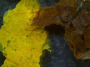 Leaf fragments